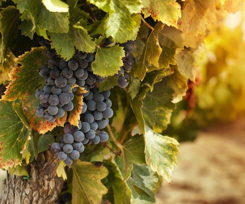 Descubre nuestros viñedos